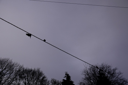 Pigeons